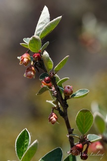 cotoneaster2012